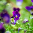 Purple violas — Stock Photo #12316578