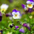 Purple violas - Stock Photo