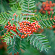 Sorbus — Stock Photo #12316756
