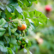 Rose hips - Stock Photo