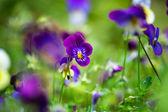 Purple violas — Stock Photo