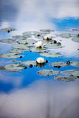 European white waterlily — Stock Photo