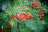 Sorbus — Stock Photo