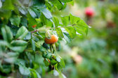 Rose hips — Stock Photo