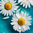 Stock Photo: Daisies floating in water
