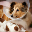 Sheltie recovering from surgery - Stock Photo