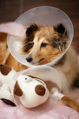 Sheltie recovering from surgery — Stock Photo