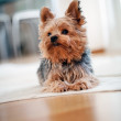 Yorkshire terrier — Stockfoto #19562165