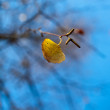 Stock Photo: Birch leaves against blue sky