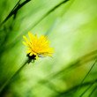 Dandelion — Stock Photo #48115155