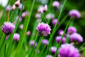 Chives — Stock Photo