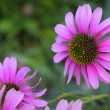 purple echinacea — Stock Photo