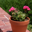 Flower pot with pink storksbills on a wall — Stock Photo