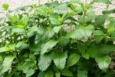 Herbs in your backyard — Stock Photo