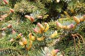 Ramas de un árbol del árbol de la piel o pino — Foto de Stock