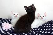 Three Kittens - white and black — Stock Photo