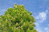 Kvetoucí kaštan po obloze — Stock fotografie