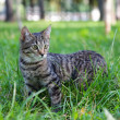 Domestic Cat in the grass - Stock Photo