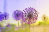 Flowering Onion — Foto Stock