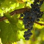 Vineyard — Stock Photo #12749436