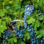 Vineyard — Stock Photo #12751510