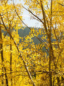 Yellow Aspens — Stock Photo