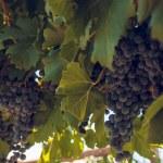 Vineyard — Stock Photo #13252653