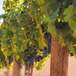 Vineyard — Stock Photo #13252658