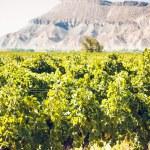 Vineyard — Stock Photo #13252734