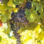 Vineyard — Stock Photo #13252760