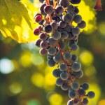 Vineyard — Stock Photo #13252897