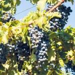 Vineyard — Stock Photo #13252986