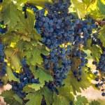 Vineyard — Stock Photo #13253041