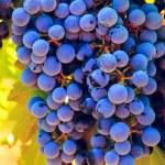 Vineyard — Stock Photo #13253131