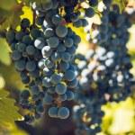 Vineyard — Stock Photo #13253234