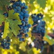 Vineyard — Stockfoto #13253295