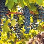 Vineyard — Stock Photo #13253311
