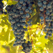 vineyard — Stock Photo #13253333