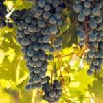 Vineyard — Stock Photo #13253333