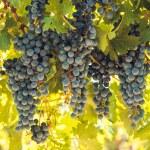 Vineyard — Stock Photo #13253347