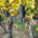 Vineyard — Stock Photo #13254170