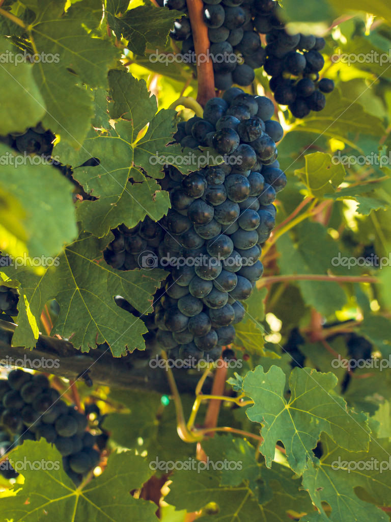 Red grapes ready to be harvested at a vineyard. — Stock Photo #13253466