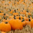 Pumpkin patch — Stock Photo #13559607