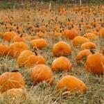 Pumpkin patch — Stock Photo #13559786
