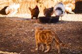 Granja de pollos — Foto de Stock