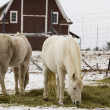 chevaux blancs — Photo #16883597