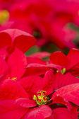 Poinsettias — Stok fotoğraf