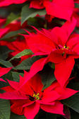 Poinsettie — Foto Stock