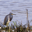Tri colored heron — Stock Photo #18424223