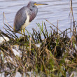 tri colored heron — Stock Photo